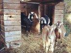 Где держать коз и чем кормить в домашних условиях?