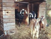 На фото содержание коз