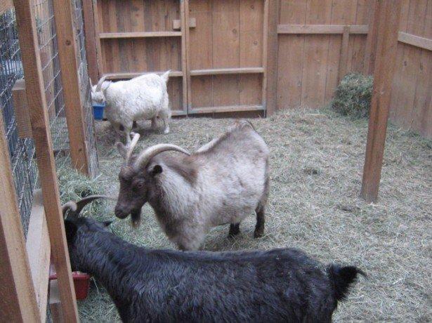 На фото кормление коз
