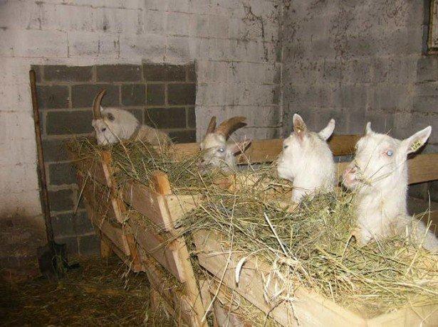 На фото сарай для коз