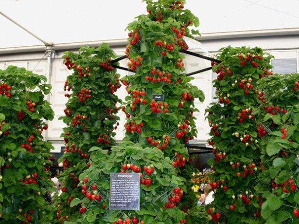 На фото выращивание клубники в Голландии