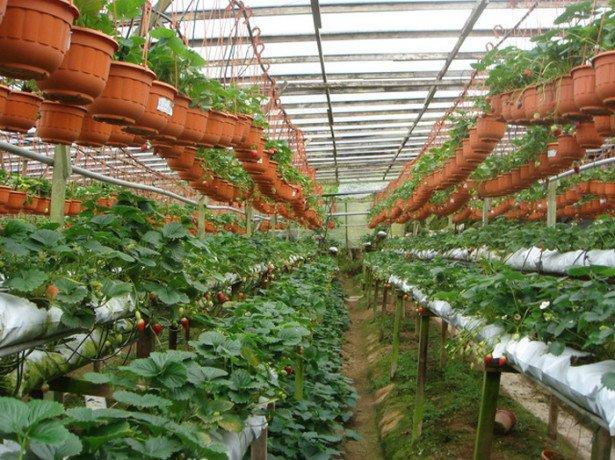 Как в голландии выращивают клубнику