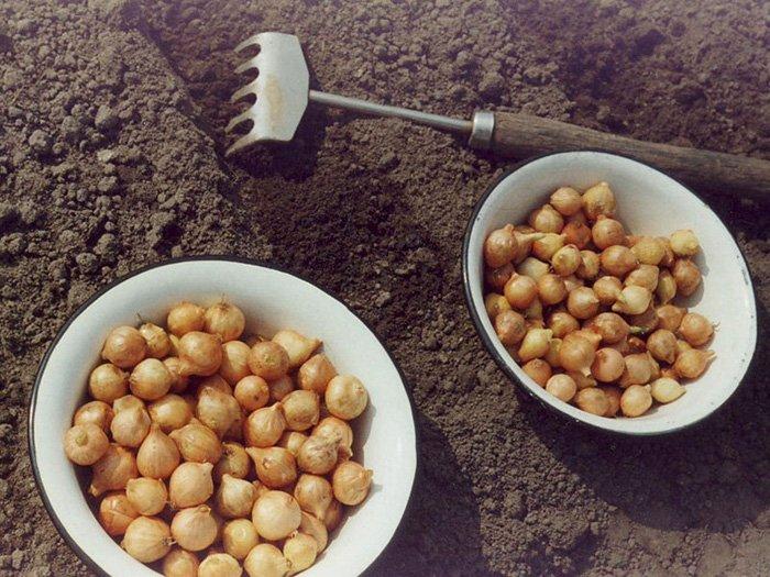 Как вырастить лук дома 2 пошаговые инструкции с фото 41
