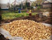 на снимке выкопанный картофель