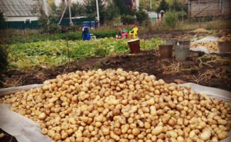 Когда начинать уборку картошки, и чем ее лучше копать – лопатой или мотоблоком?