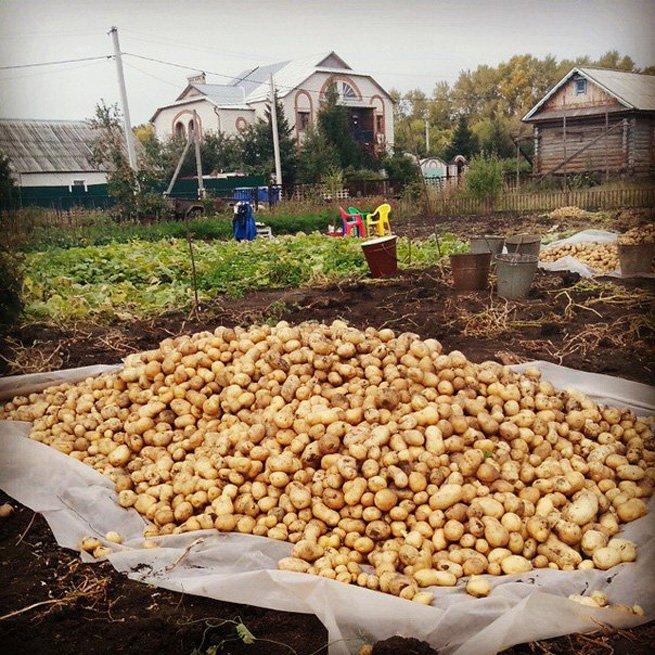 Картофеля уборка собираем картошку правильно