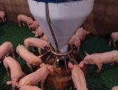 На снимке откорм свиней