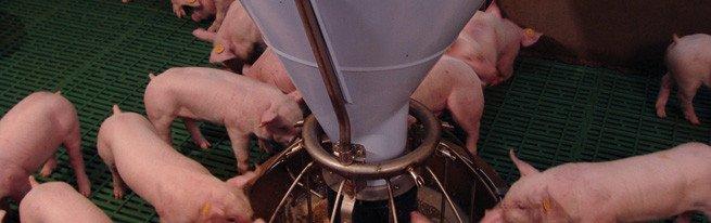 Комбикорм, биодобавки, премиксы – откорм свиней для получения качественной свинины