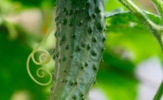 Компактное выращивание огурцов в бочке и на шпалере