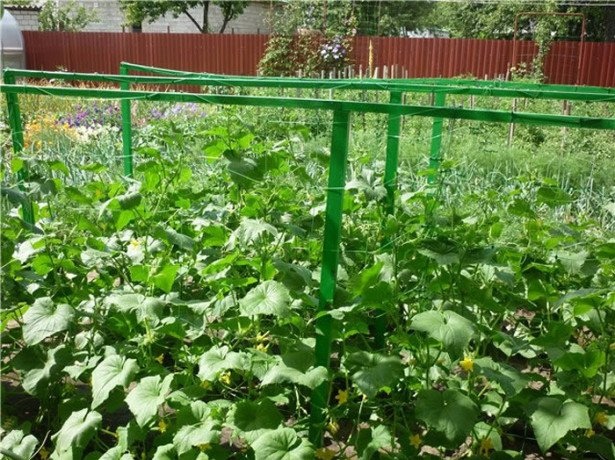 На фотографии выращивание огурцов на шпалерах