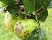 Мучнистая роса яблонь