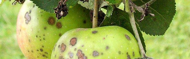 Лишайники, парша и мучнистая роса на яблонях – методы борьбы