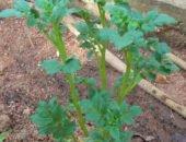На фото метод Митлайдера для выращивания высокого урожая картофеля