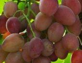 На фотографии виноград