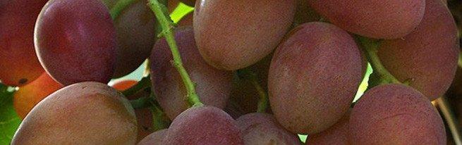 Милдью, оидиум, рак, пятнистость - симптомы опасных заболеваний винограда и методы борьбы с ними
