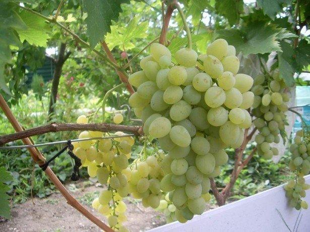 Самые распространенные и опасные болезни винограда и их лечение