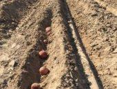 На фото посадка картофеля