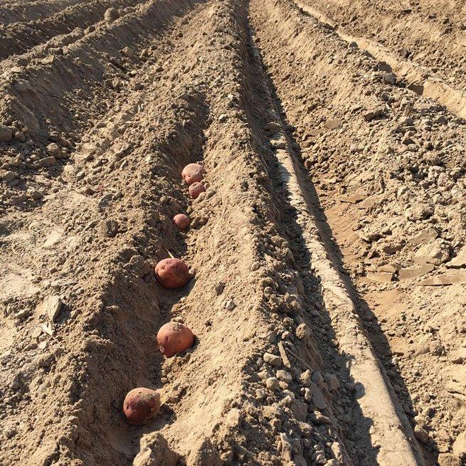 Какую картошку лучше всего сажать 821