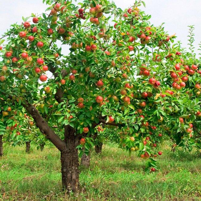 На фото яблоня из семечка