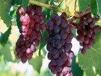 Обрежьте виноград на зиму, и урожай вас удивит!