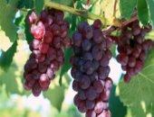 Обрежьте виноград на зиму