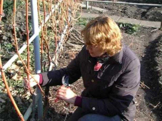 Как правильно обрезать виноград на зиму - советы новичкам, схема