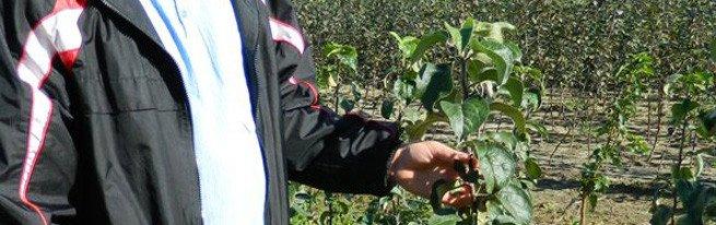 Осенняя подрезка яблонь или как обрезать и обрабатывать ветви