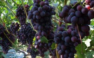 Размножение винограда самым эффективным способом - черенками
