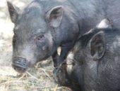 На фото разведение свиней