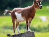 На фото случка коз