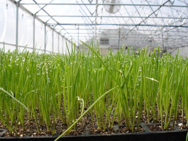 На фото выращивание лука на зелень в теплице