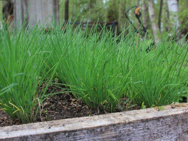 На фотографии выращивание лука на зелень в открытом грунте