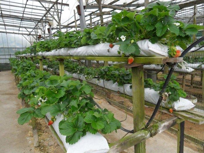 Как зимой выращивать клубнику