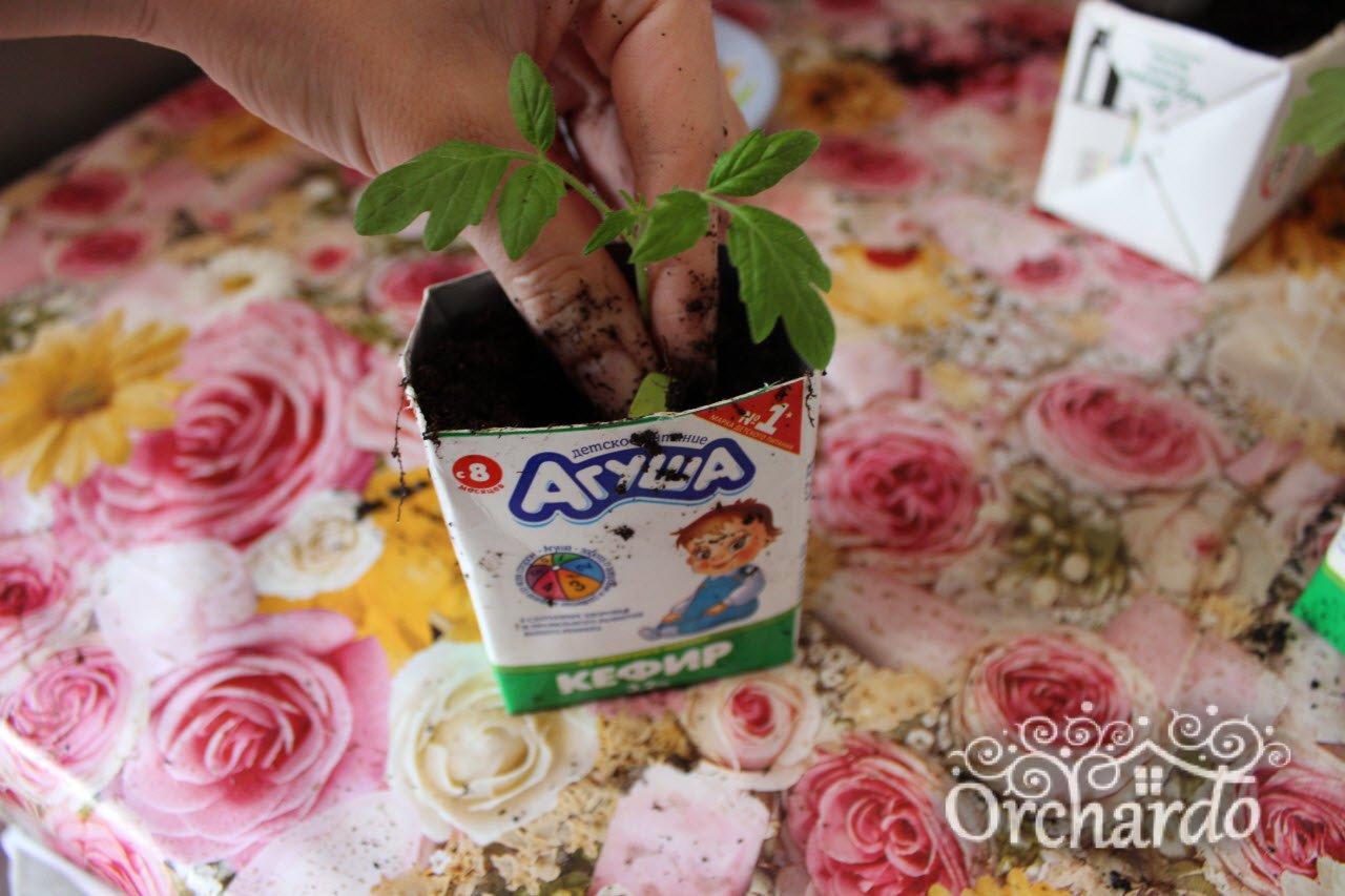 заглубляем сеянец томата до семядольных листьев