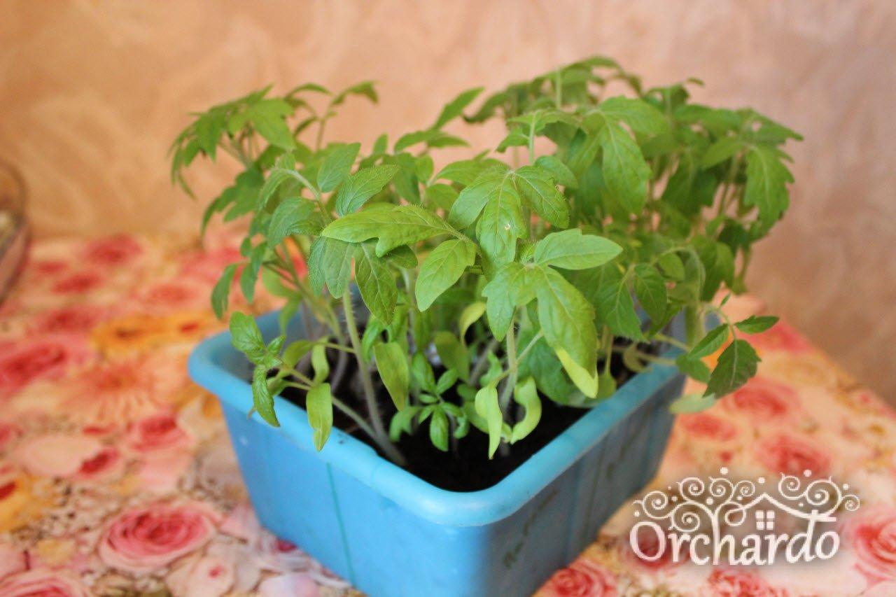 томаты через 3 недели после всходов