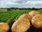 На фото картофель