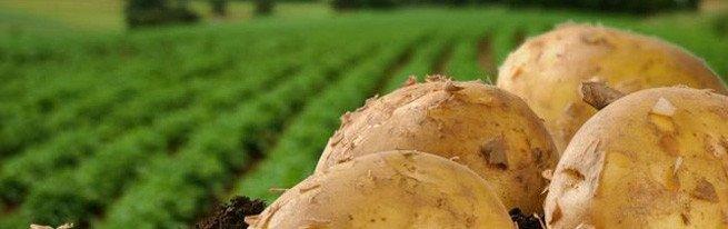 Выращивание картофеля столярный метод фото 322-968