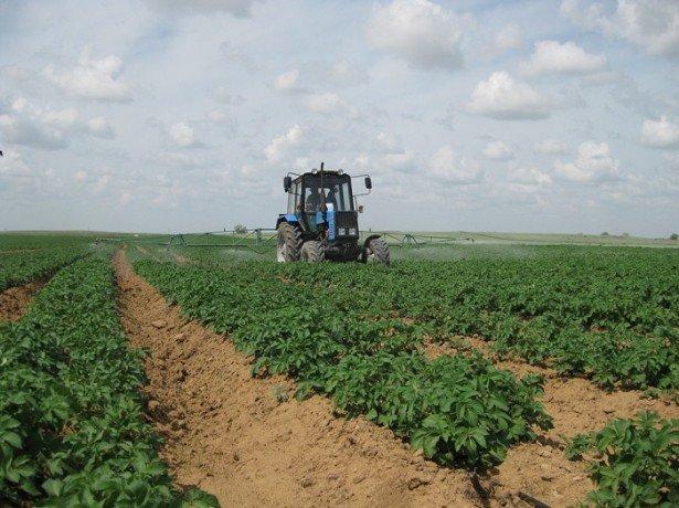 На фото выращивание картофеля по голландской технологии