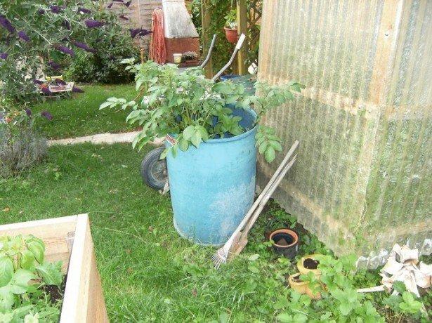 Фото выращивания картофеля в бочках