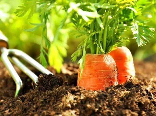 Фотография морковки