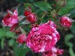 Как продлить жизнь роз из букета: можно ли укоренить их и вырастить?