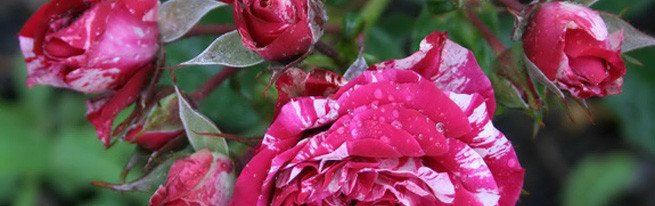 Как продлить жизнь цветам из букета: можно ли вырастить розу из черенков дома