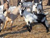 На фото козы