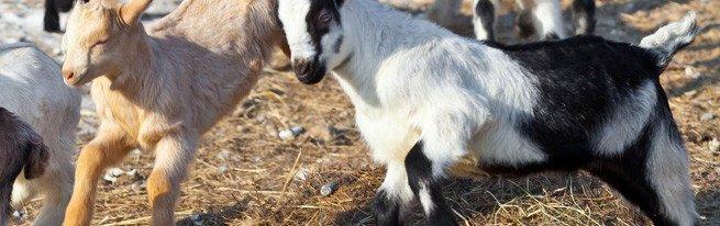 Больше молока с первой же лактации – как раздоить козу правильно