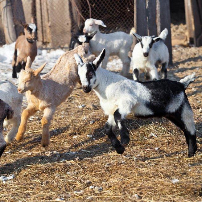 Как правильно раздоить козу после окота