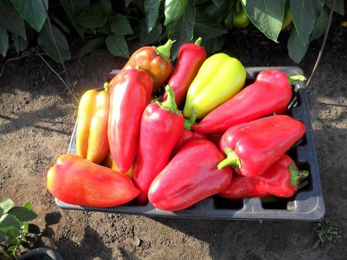 Красный болгарский перец выращивание 92