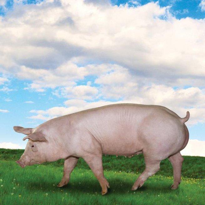 Как можно застрелить свинью из ружья