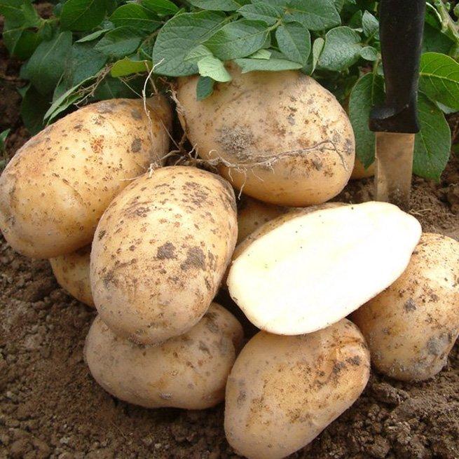 На фото картошка под соломой