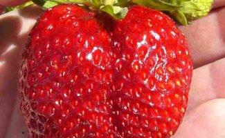 Круглогодичное выращивание клубники – какой технологией воспользоваться?
