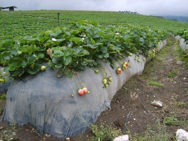 На фото выращивание клубники в мешках